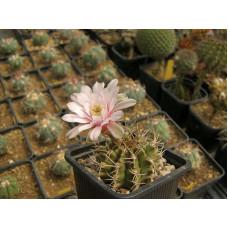 Gymnocalycium schickendantzii ssp. delaetii