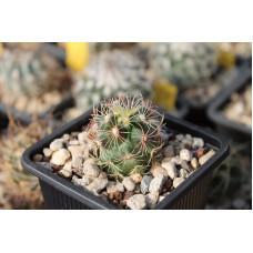 Thelocactus bicolor ssp. bicolor var. wagnerianus