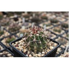 Ferocactus viridescens v. orcuttii