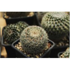 Mammillaria sp.
