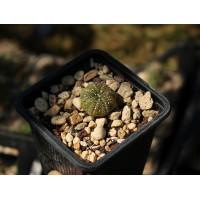 Astrophytum asterias hibrid