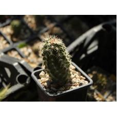 Echinocereus sp.