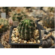 Echinopsis hybrid 'Ilary'