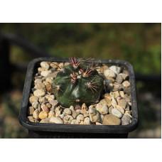 Ferocactus fordii ssp. borealis