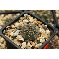 Gymnocalycium bodenbenderianum