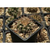 Gymnocalycium castellanosii x riojense