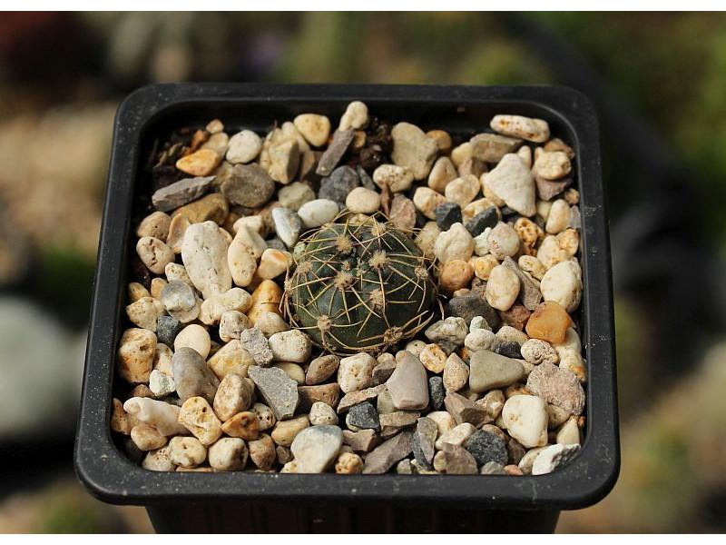 Gymnocalycium hyptiacanthum ssp. netrelianum