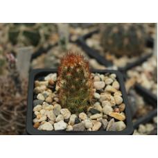 Mammillaria elongata var. rufocrocea