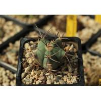 Echinocactus horizonthalonius ssp. diabolicus PD 130