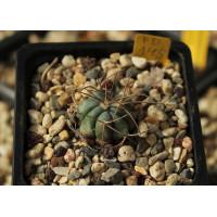 Echinocactus horizonthalonius PD 145