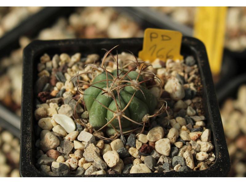 Echinocactus horizonthalonius PD 166
