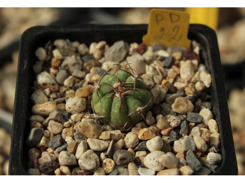 Echinocactus horizonthalonius PD 22