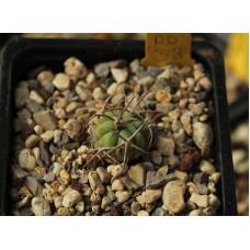 Echinocactus horizonthalonius PD 39