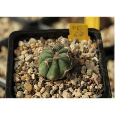 Echinocactus horizonthalonius PD 67