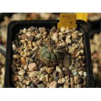 Echinocactus horizonthalonius PD 69