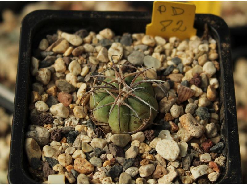 Echinocactus horizonthalonius PD 82