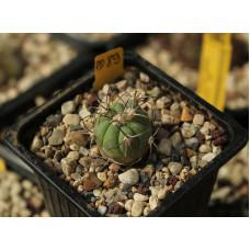 Echinocactus horizonthalonius PD 89