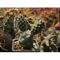 Tephrocactus articulatus var. strobiliformis