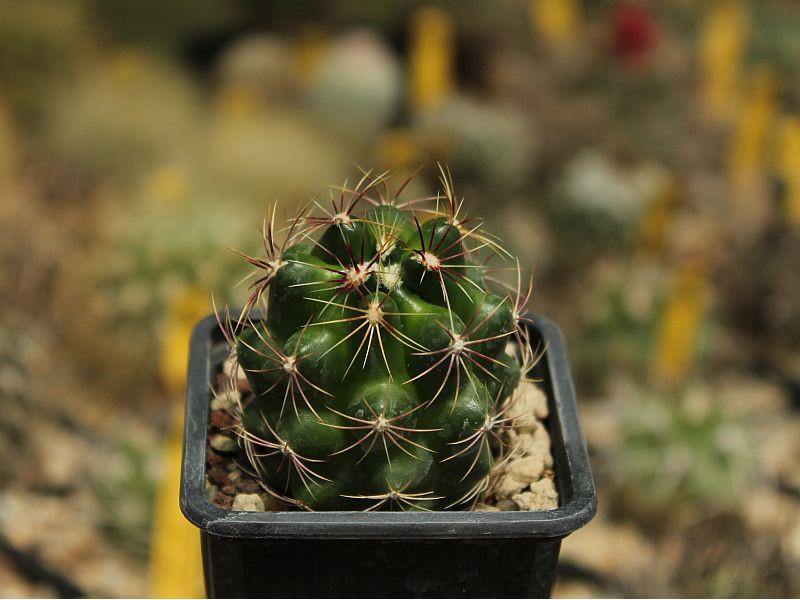 Thelocactus bicolor ssp. bicolor v. tricolor