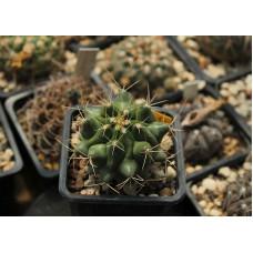 Thelocactus rinconensis ssp. hintonii