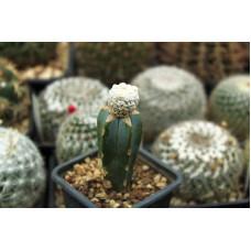 Astrophytum asterias cv superkabuto snow type
