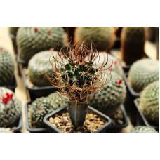 Sclerocactus papyracanthus