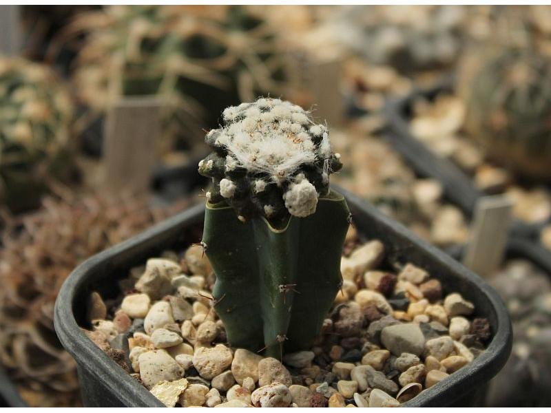 Copiapoa tenuissima f. monstrosa