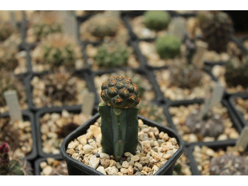 Tephrocactus bonnieae
