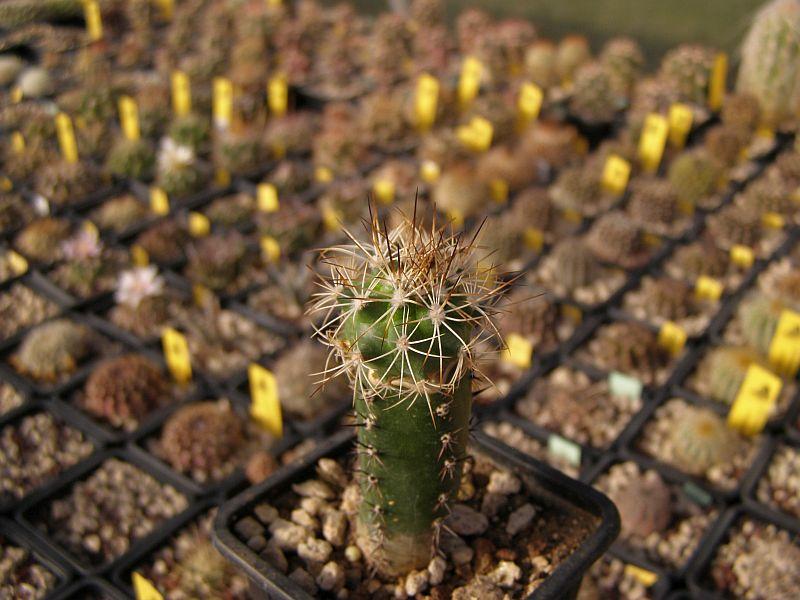 Gymnocactus horripilus