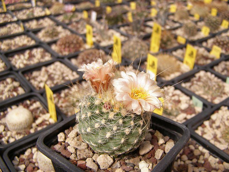 Pediocactus paradinei SB502