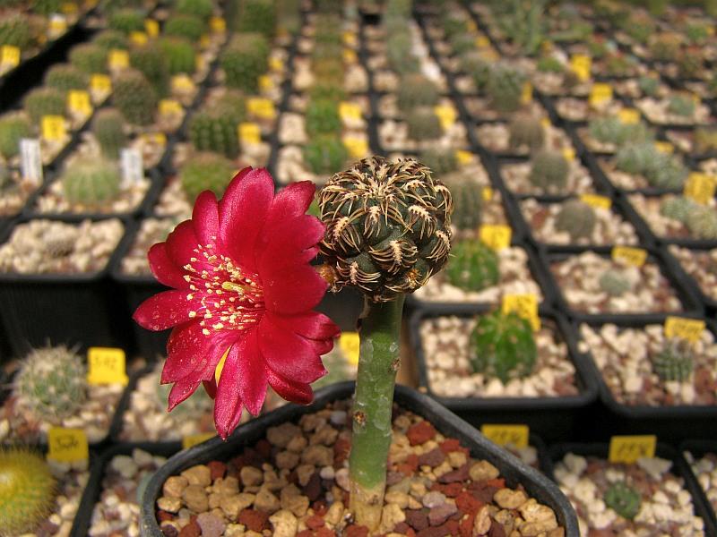 Rebutia steinbachii ssp. steinbachii
